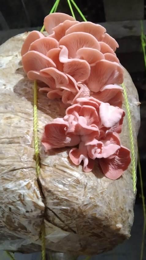 Gulabi Oyester Mushroom
